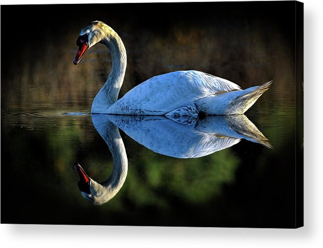 Swan Acrylic Print featuring the photograph Swan by Dave Mills