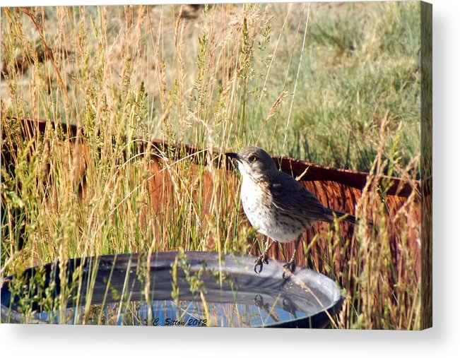 Perch Photographs Acrylic Print featuring the photograph Taking A Drink by C Sitton