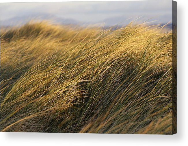Bending Acrylic Print featuring the photograph Tall Grass Blowing In The Wind by Peter McCabe
