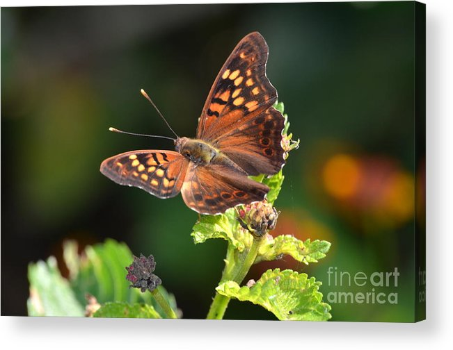 Tawny Emperor Butterfly Acrylic Print featuring the photograph Tawny Emperor by Kathy Gibbons