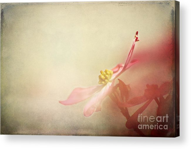 April Acrylic Print featuring the photograph The Bloom Of A Dogwood by Darren Fisher