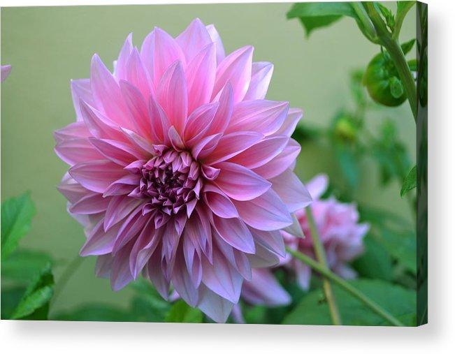 Pink Acrylic Print featuring the photograph The Pink Dahlia-flower2 by Saifon Anaya