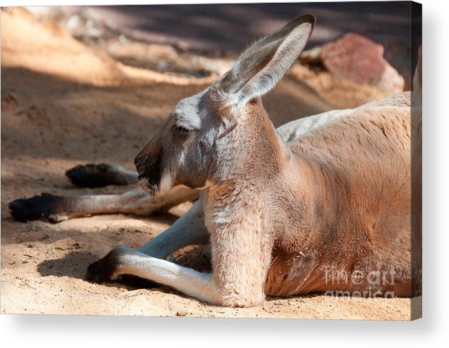 Kangaroo Acrylic Print featuring the photograph The Resting Roo by Rob Hawkins