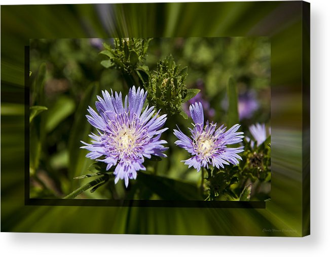 Thistle Acrylic Print featuring the photograph Thistle 131 by Charles Warren