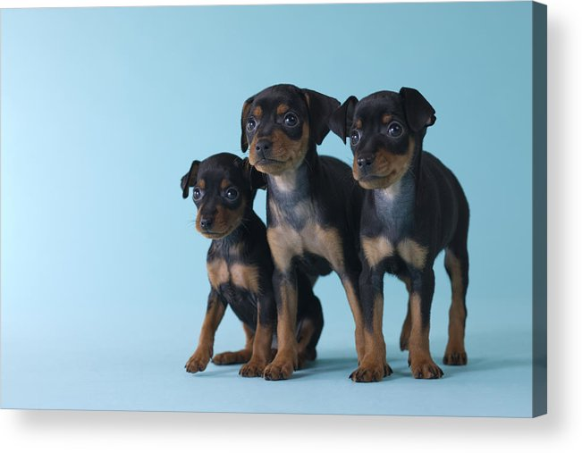 Three Miniature Pinscher Puppies Acrylic Print By Mixa