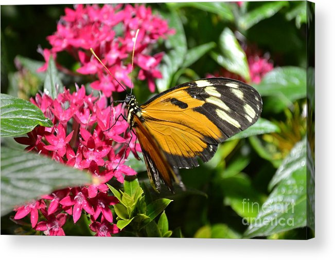 Butterfly Acrylic Print featuring the photograph Tiger by Bella Photography