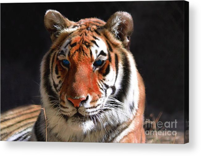 Tiger Acrylic Print featuring the photograph Tiger Blue Eyes by Rebecca Margraf