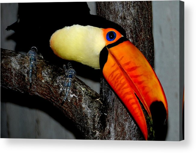 Acrylic Print featuring the photograph Toucan Sam by Christy Phillips