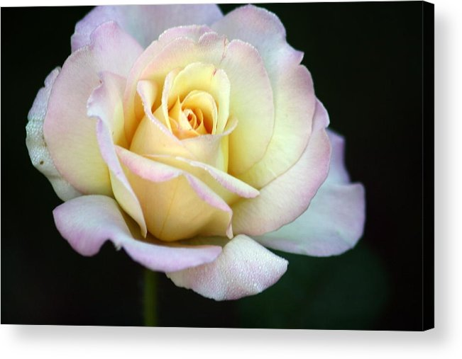 Rose Acrylic Print featuring the photograph Trilogy Of A Rose- Day Two by LC Linda Scott