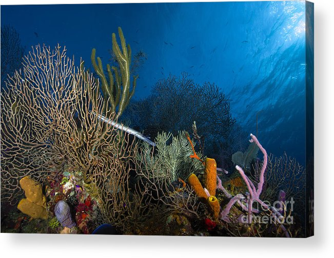 Sea Life Acrylic Print featuring the photograph Trumpetfish, Belize by Todd Winner