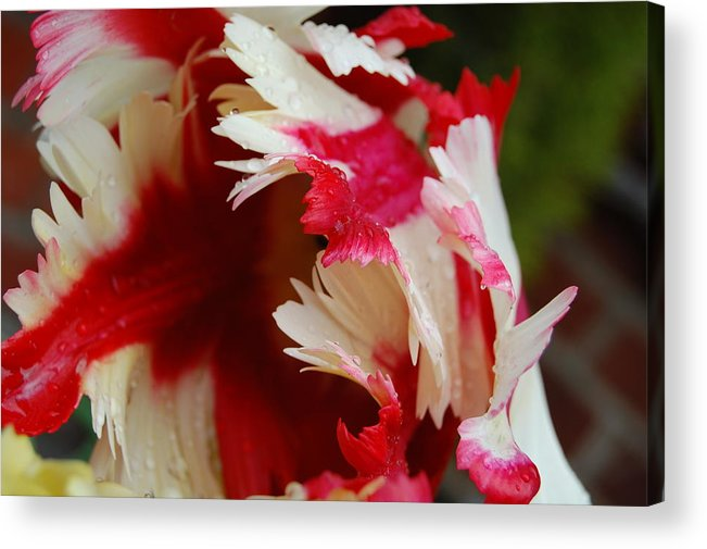 Dickon Acrylic Print featuring the photograph Tulips - Red And White by Dickon Thompson