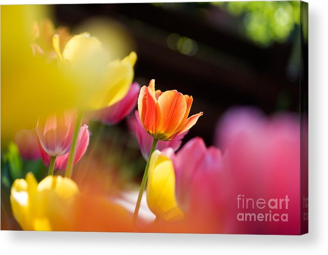 Backdrop Acrylic Print featuring the photograph Tulips by Kati Finell