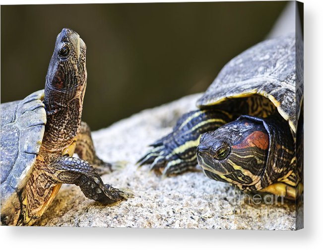 Turtles Acrylic Print featuring the photograph Turtle Conversation by Elena Elisseeva