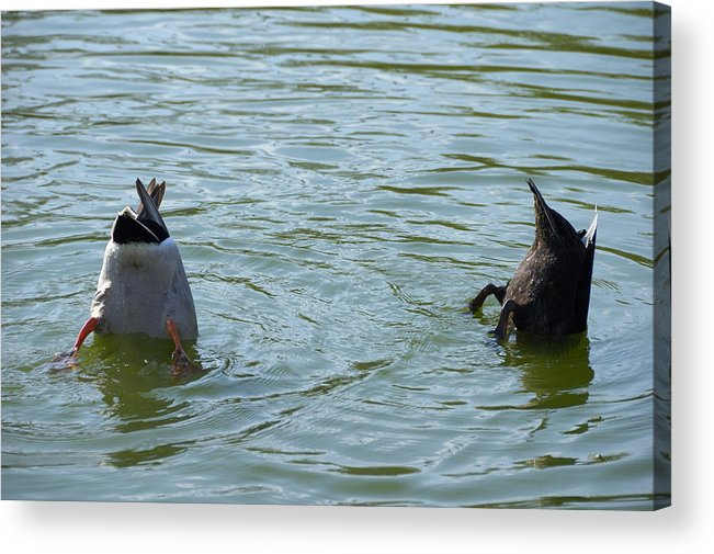 Ducks Acrylic Print featuring the photograph Two Ducks Diving by Matthias Hauser