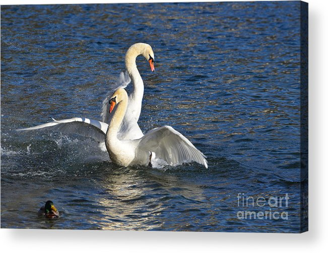 Swan Acrylic Print featuring the photograph Two Swans Playing by Mats Silvan