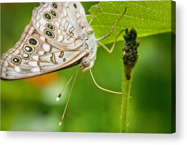 Nature Acrylic Print featuring the photograph Upclose Moth_1 by Lisa Spencer