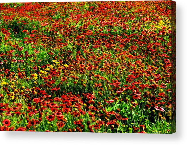 Flowers Acrylic Print featuring the photograph Velvet Spring by Maricar Edano Casaclang