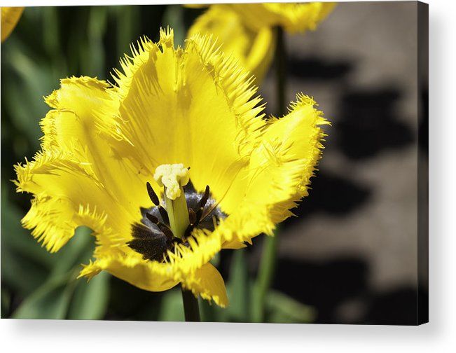 Tulip Acrylic Print featuring the photograph Venus Flytrap Tulip by Eric Hobart