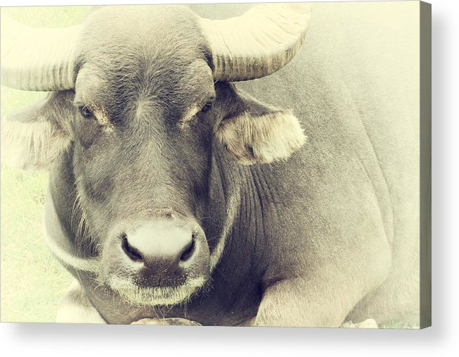 Animal Acrylic Print featuring the photograph Very Serious by Karol Livote