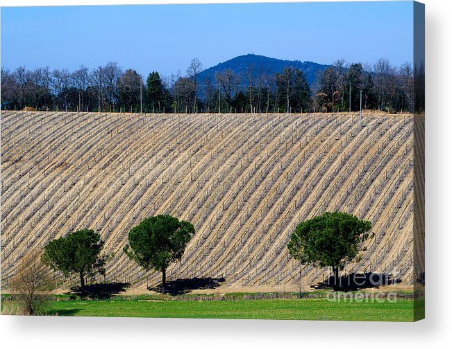 Vineyard Acrylic Print featuring the photograph Vineyard On A Hill With Trees by Mats Silvan