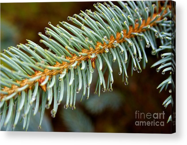 Water Drops Acrylic Print featuring the photograph Water Drops On Needles by NW Images