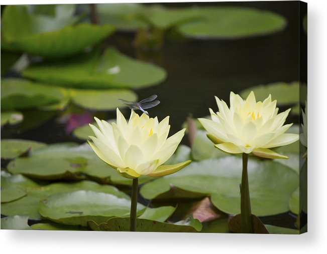 Water Lily Acrylic Print featuring the photograph Water Lily Dragonfly 2 by Michel DesRoches