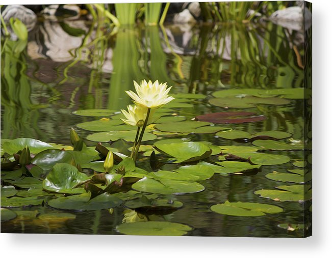 Water Lily Acrylic Print featuring the photograph Water Lily Garden 1 by Michel DesRoches