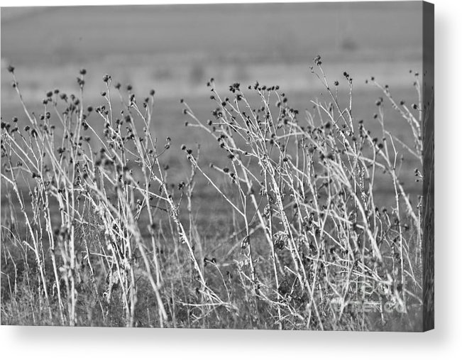 Weeds Acrylic Print featuring the photograph Weeds by Gabriela Insuratelu
