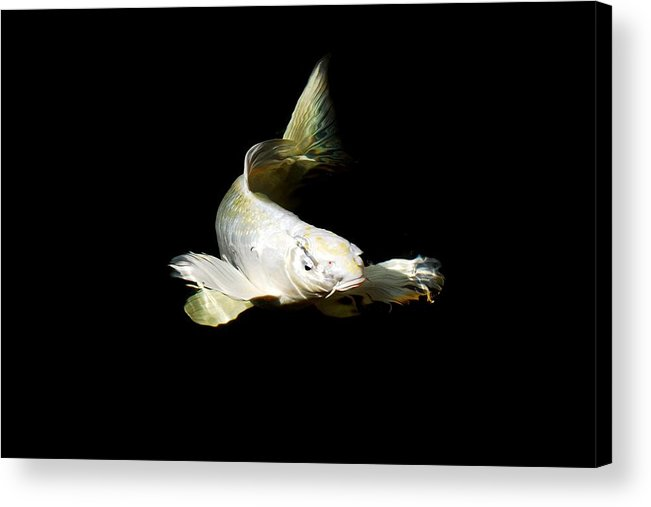 Koi Acrylic Print featuring the photograph White Angel by Don Mann