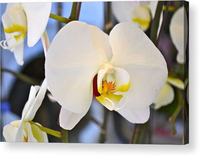 Orchid Acrylic Print featuring the photograph White Orchids by Randi Golde