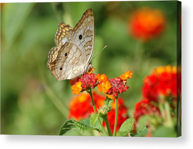 Butterfly Acrylic Print featuring the photograph White Peacock Butterfly by Carolyn Marshall