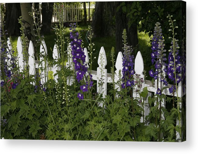 White Picket Fence Acrylic Print featuring the photograph White Picket Blooms by Michael Elam