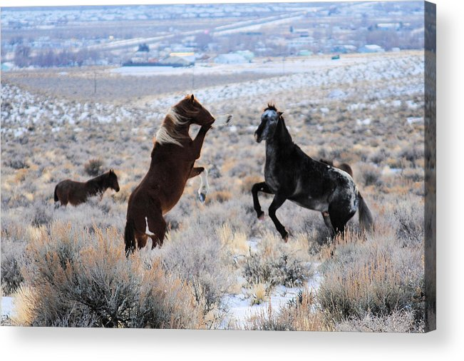 Horse Acrylic Print featuring the photograph Wild Horse Fight by Sean McGuire