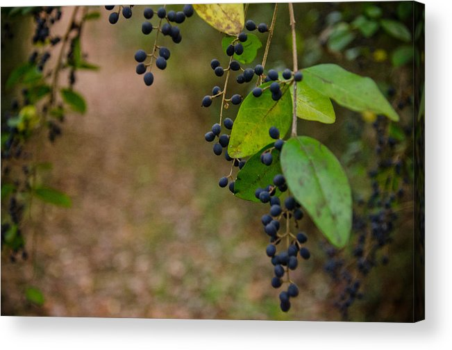 Berries Acrylic Print featuring the photograph Winter Berries by Victoria Lawrence