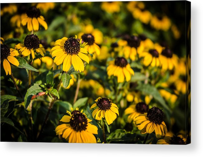 Flowers Acrylic Print featuring the photograph Yellow Golden Flowers 1 by Noah Katz