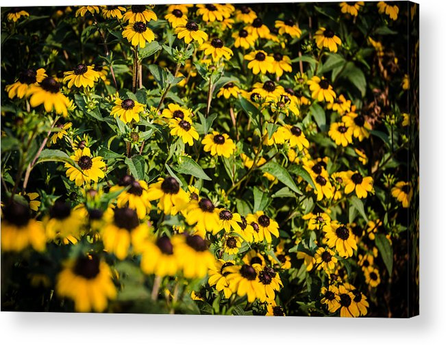 Flowers Acrylic Print featuring the photograph Yellow Golden Flowers 3 by Noah Katz