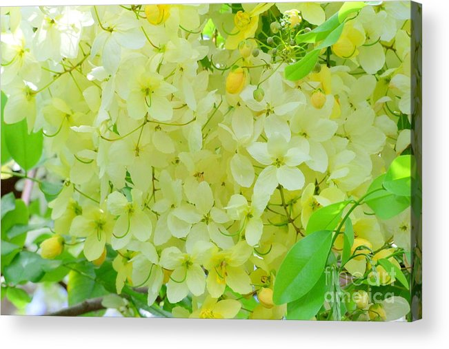 Yellow Acrylic Print featuring the photograph Yellow Shower Tree - 5 by Mary Deal