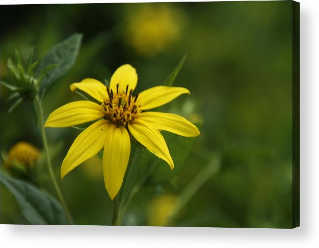 Flower Close Up Acrylic Print featuring the photograph Yellow Star by Loretta Pokorny