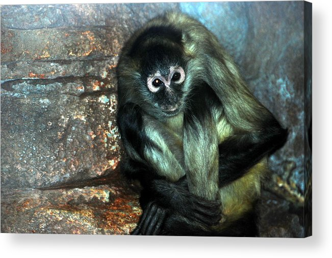 Acrylic Print featuring the photograph Yoga Monkey by Christy Phillips