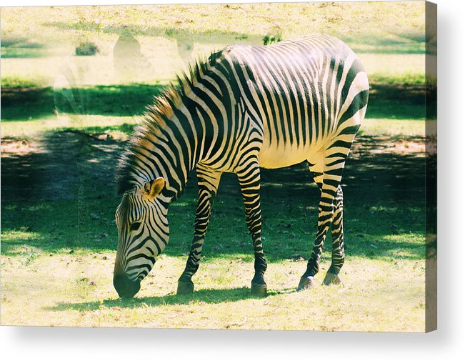 Wildlife Acrylic Print featuring the photograph Zebra by Jaqueline Briel