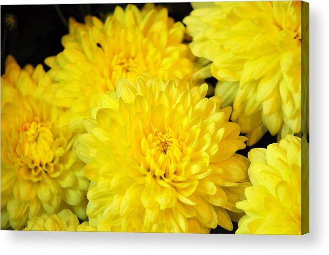 A Yellow Chrysanthemum Symbolizes Slighted Love Acrylic Print By