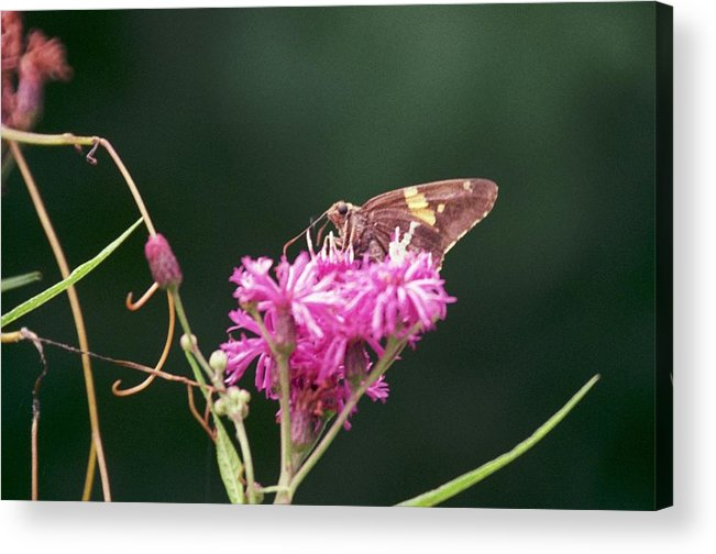 Butterfly Acrylic Print featuring the photograph 072106-19 by Mike Davis