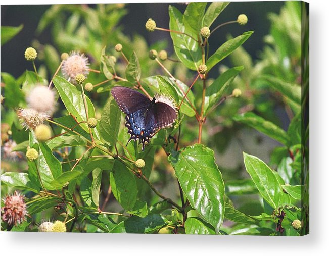 Butterfly Acrylic Print featuring the photograph 080706-6 by Mike Davis