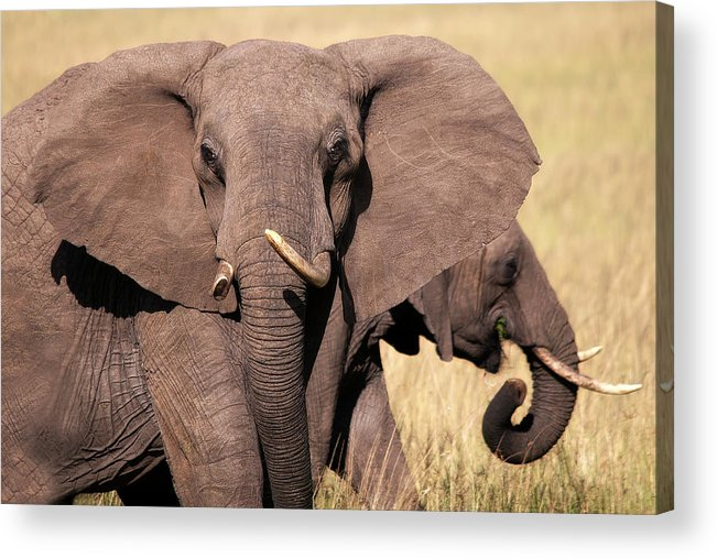 Elephant Acrylic Print featuring the photograph 1-elephant by Michel Legare