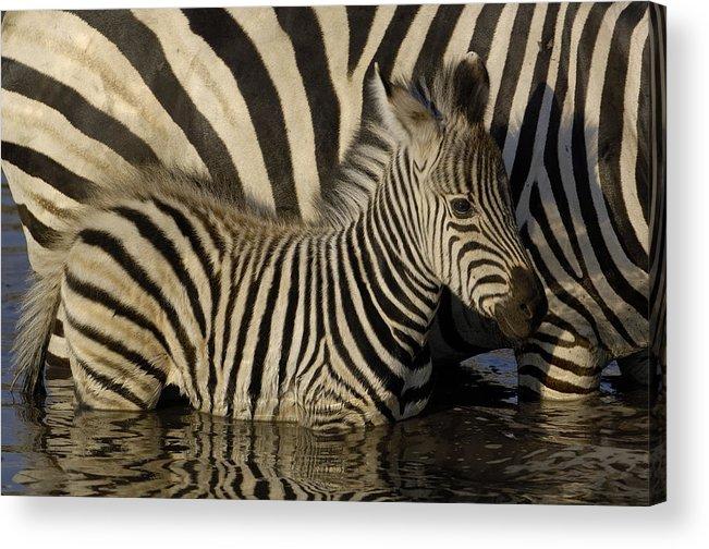 Mp Acrylic Print featuring the photograph Burchells Zebra Equus Burchellii Foal by Pete Oxford