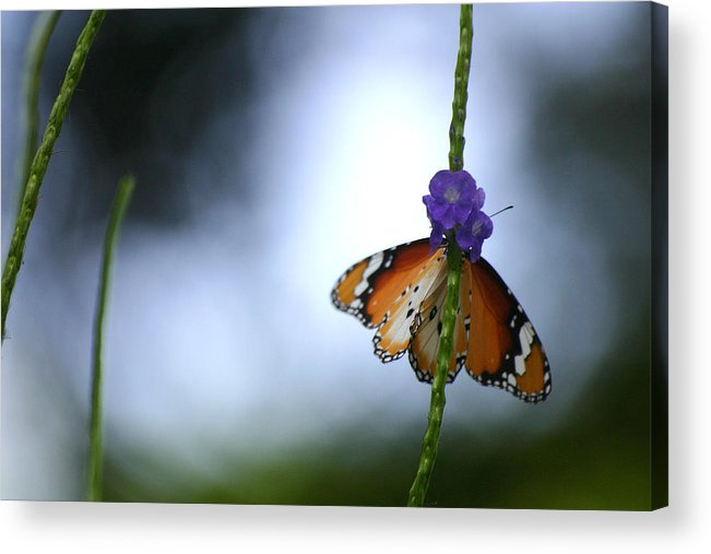 Insect Acrylic Print featuring the photograph Butterfly by Mark Mah