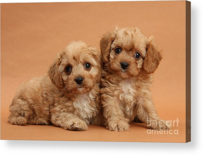 Animal Acrylic Print featuring the photograph Cavapoo Pups by Mark Taylor