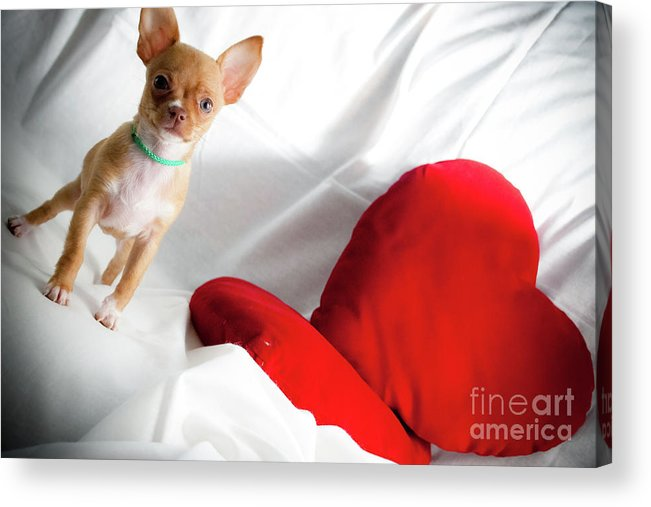 Chihuahua Acrylic Print featuring the photograph Chihuahua by Luca Spanu