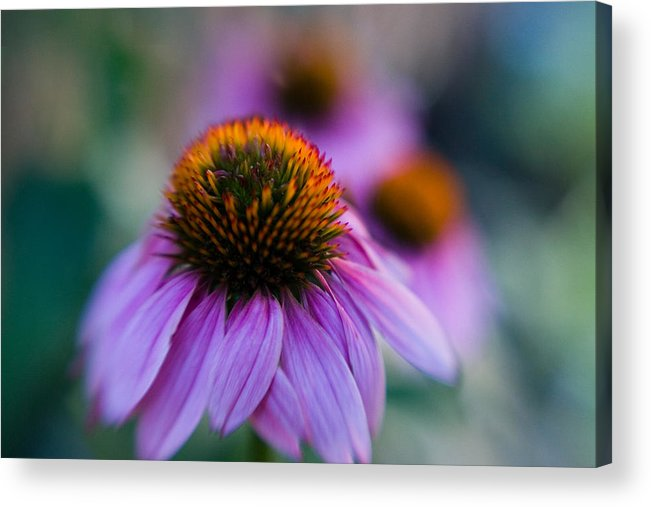 Conflower Acrylic Print featuring the photograph Coneflower Ballet by Sandy Belk