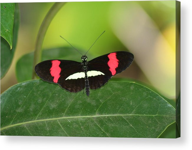 Crimson Acrylic Print featuring the photograph Crimson Patched Longwing by Jeff VanDyke